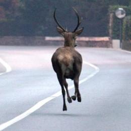 Cervo investito sulla statale a Rogolo. Un altro salvato