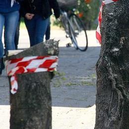 Alberi tagliati a Morbegno  Molte le radici nell'acquedotto