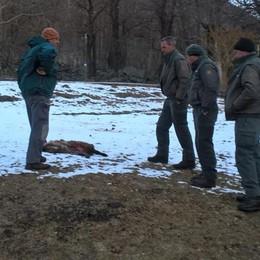 Pecore uccise, nuovo allarme sui Cech