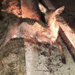 Un altro cervo investito nella piana di Dazio «Servono i dissuasori »