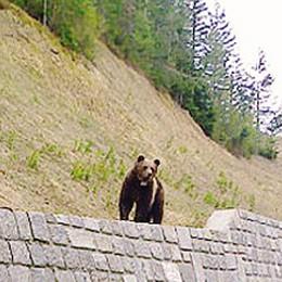 L'orso M25 ad Albosaggia   Guarda il video