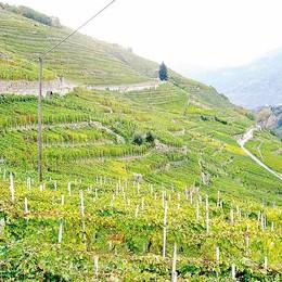 Tra pioggia e funghi  viticoltori col fiato sospeso
