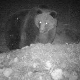 Da un mese nessuna traccia di M25: «L'orso forse vittima dei bracconieri»