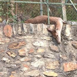 Cervo morto sotto una recinzione
