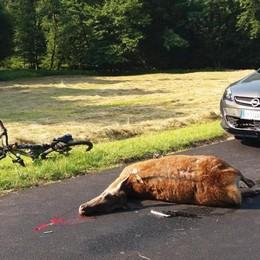 Chiusa la caccia ai cervi  «Diminuiti gli incidenti»