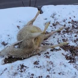 Cinque pecore uccise e altrettante ferite: è stato il lupo