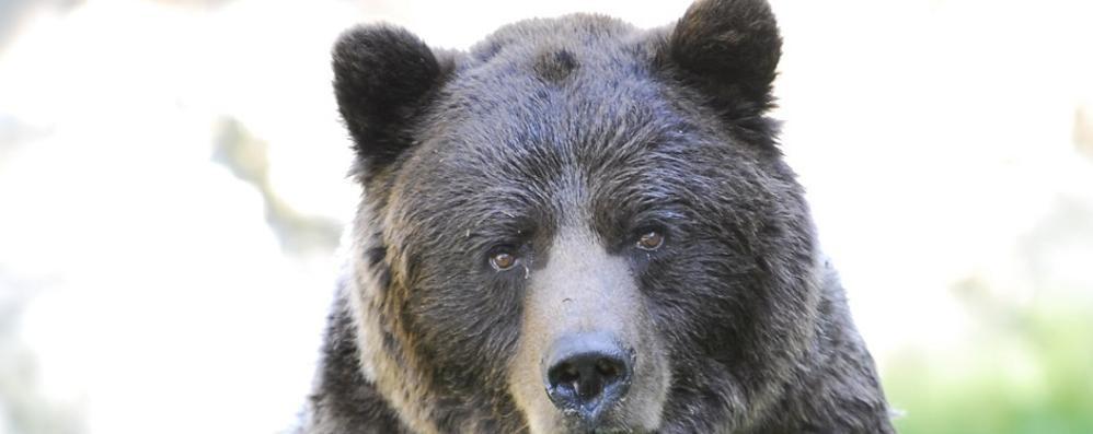 Parco, morto l'orso Orfeo  Era un'autentica mascotte