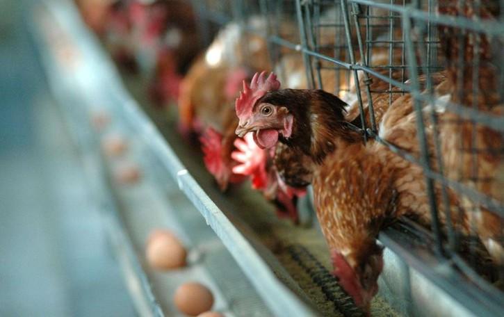 Aviaria, resta la zona di protezione  La gallina acquistata a Tirano