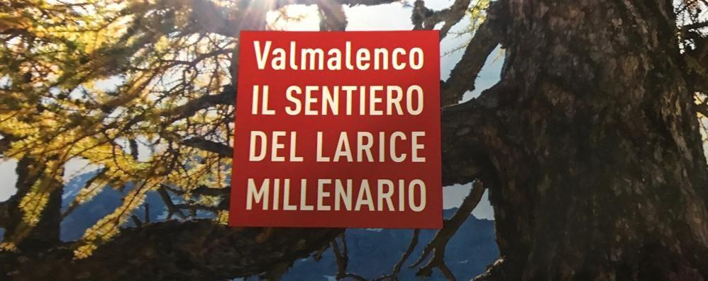 Alta Valmalenco: mille anni e non sentirli, pronto il sentiero verso il larice più vecchio