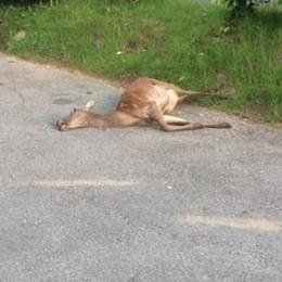 Femmina di cervo contro auto  Illeso il conducente, danni ingenti