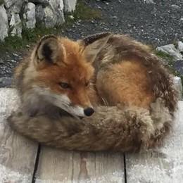 Una piccola star al rifugio V Alpini, la volpe Foxy ama l'obiettivo