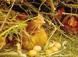1Massimo Rapella con uno dei figli mentre raccoglie le uova deposte in giro nel bosco dalle sue galline2 Le galline hanno a disposizione settemila metri quadrati di bosco recintato in cui scegliere dove deporre