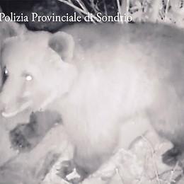 L'orso ora fa paura  «Allevatori esasperati»