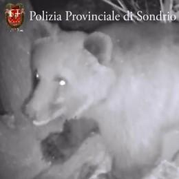 L'orso verso il letargo e le capre   fanno danni in un vigneto