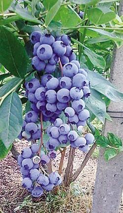 Una coltivazione di mirtilli  Lo stesso frutto in primo piano