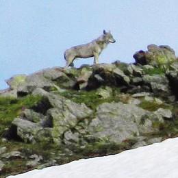 Il lupo sul Mortirolo  Ecco le prime foto