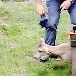 Liberato lo stambecco  salvato a marzo in Valgrosina