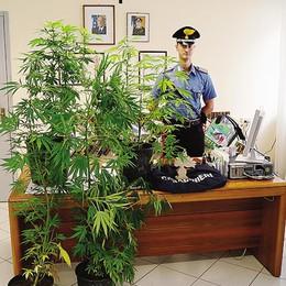 Arrestato a Traona  Coltivava marijuana