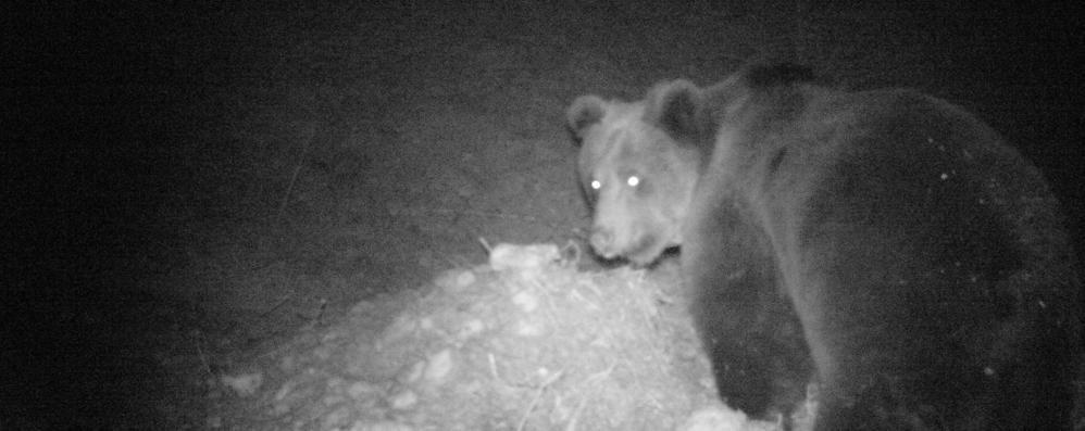 L'orso fa perdere le tracce: «Non si sa più dove sia»