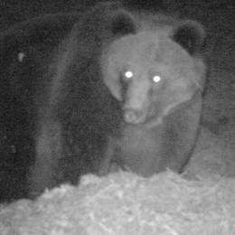 L'asino aggredito dall'orso: «Non è M25 ma suo cugino»