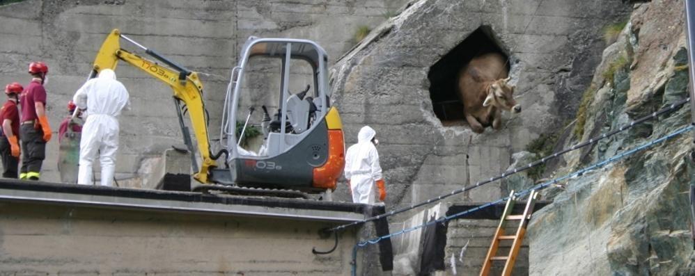 Mucche intrappolate nel tunnel della diga: nessuna ce l'ha fatta