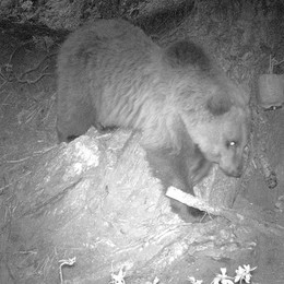 Niente collare per l'orso di Piuro  «Per ora non ha aggredito animali»