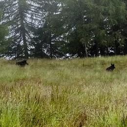 Cinghiali in provincia, resta il no alla caccia: si rafforzano i controlli