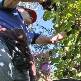 Promessa rispettata. Il prezzo delle uve  rivisto verso il rialzo