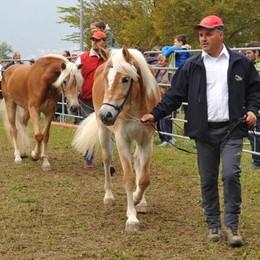 Cavallo avelignese: belli i capi e grande pubblico