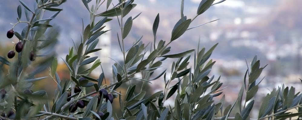 """Arriva l'olio più a Nord d'Italia  """"Vendemmiati"""" in Valle 400 quintali"""