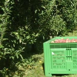 Tagliate 120 piante nel meleto  Patroni nel mirino dei vandali
