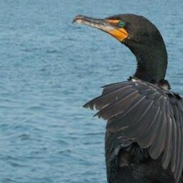 La scomparsa delle alborelle  «Tutta colpa dei cormorani»