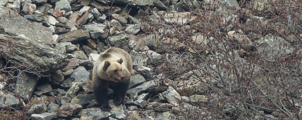 Nuovo avvistamento dell'orso in Valchiavenna