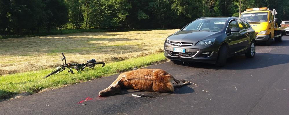 Delebio, motociclista ricoverato dopo lo scontro con un cervo