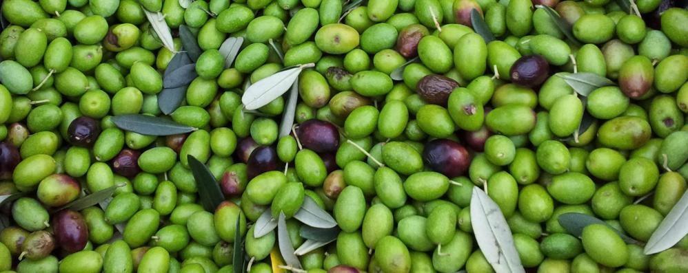 «Olive, raccolto magro  Ma è un anno di scarico»