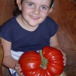 Grosio, a Vernuga nascono pomodori da 2 chili e 300 grammi