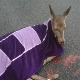 """""""Mamma cervo"""" investita da un'auto   Accudita da due donne con una coperta"""