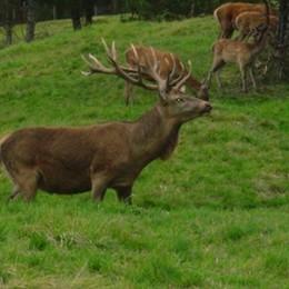 Cervi al Parco della Bosca  Aumentano gli avvistamenti