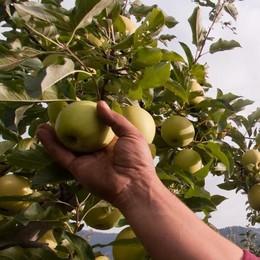 Sarà l'anno delle mele bio, nuova sfida per Melavì