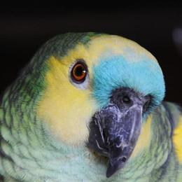 Avvistato un pappagallo a Careciasca