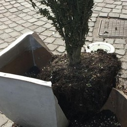 Piante sradicate e un vaso spaccato  Vandalismi in centro a Chiavenna