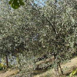 Con gli olivi si recuperano terreni incolti  Tre ettari saranno di nuovo produttivi