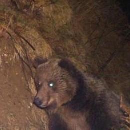 L'orso M18 colpisce  vicino alla Valtellina  Sbranati due asini