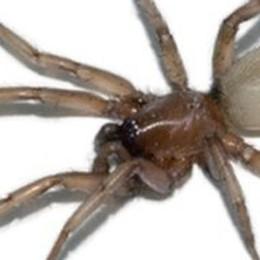 Attenti al ragno violino  Se morde è pericoloso