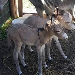 Parto rarissimo in fattoria  Mamma asina ha due gemelli