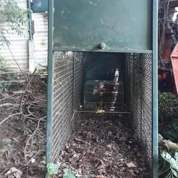 Caccia all'animale che fa strage di galline  A Cantù trappola della Polizia provinciale