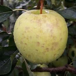 Mele, uva e grano danneggiati dalla grandine