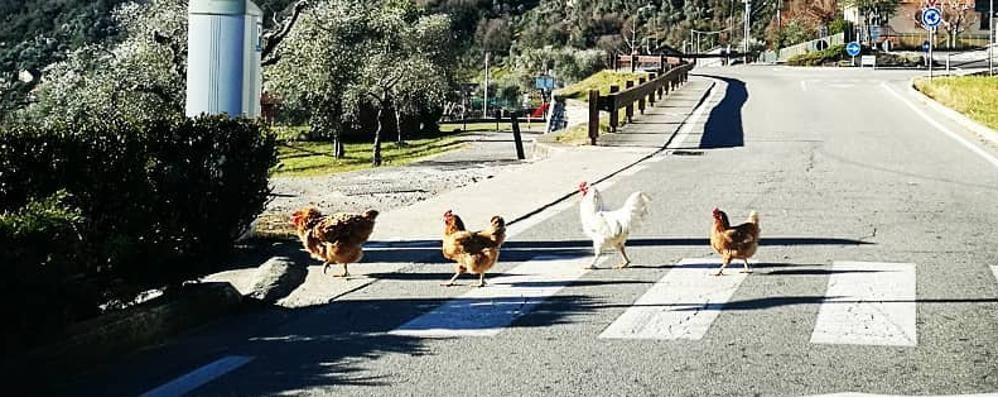 Il gallo che fa da scorta alle sue galline  Ma attraversa la strada sulle strisce