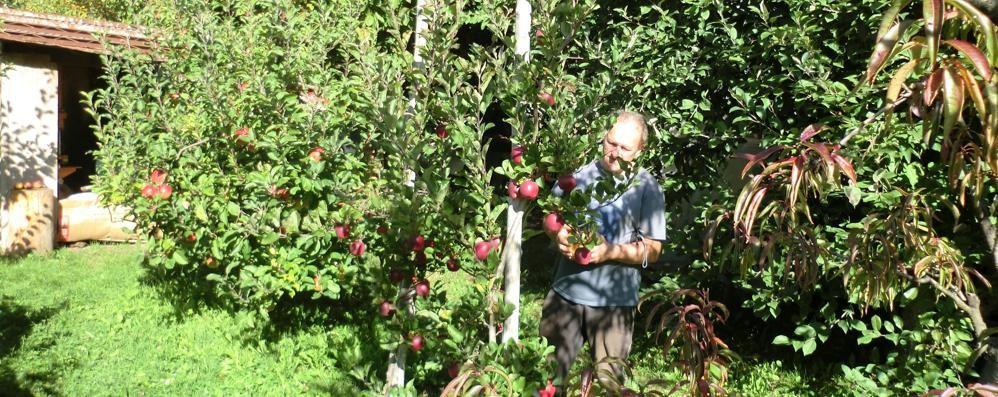 Mele per passione, nei campi di Grosio i filari di frutti dimenticati