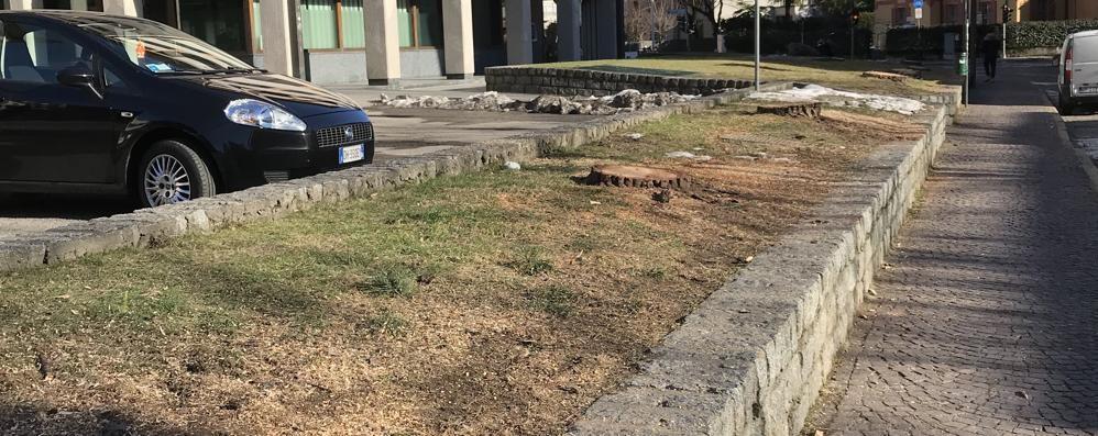 Pini marittimi, Sondrio si trasforma  Nuovi alberi prenderanno il loro posto